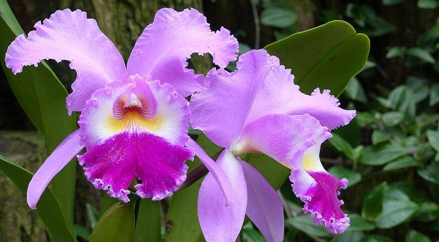 Орхидея Каттлея: уход в домашних условиях