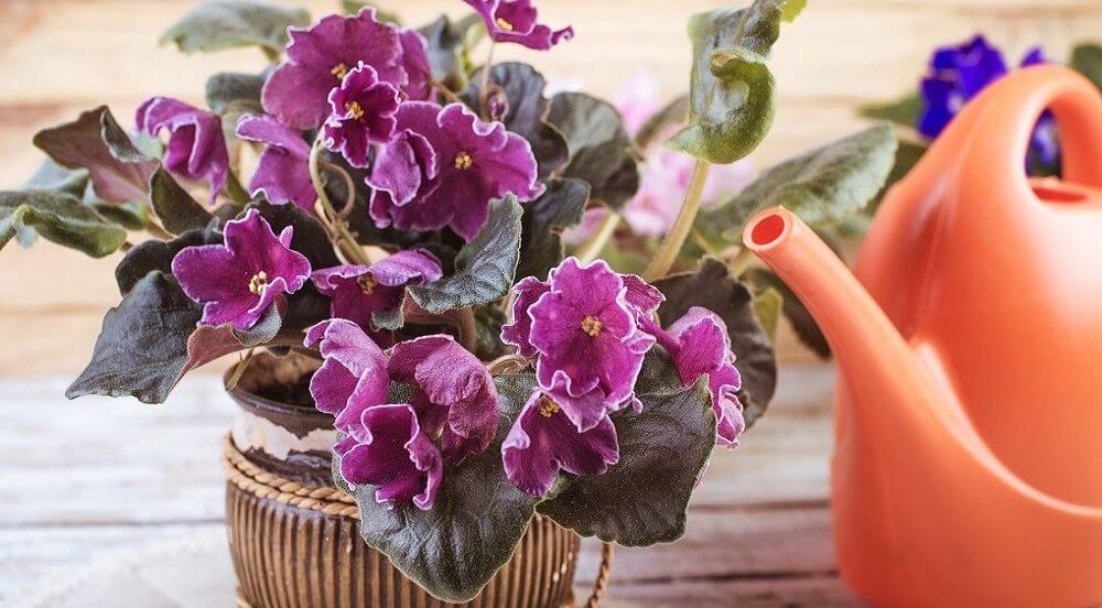Как поливать фиалку для обильного цветения