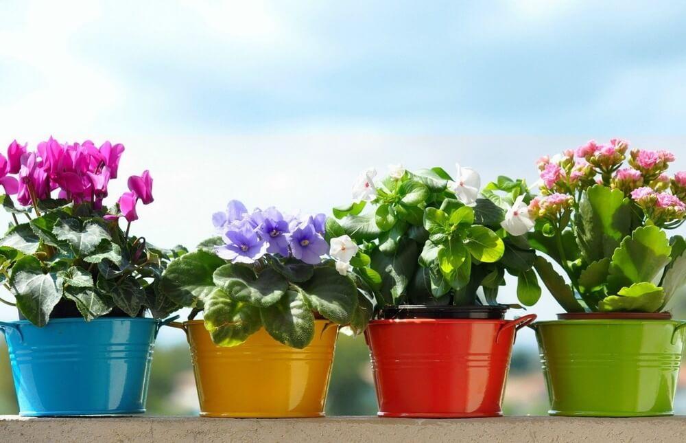 Фиалка: от посадки семян до пышного цветения