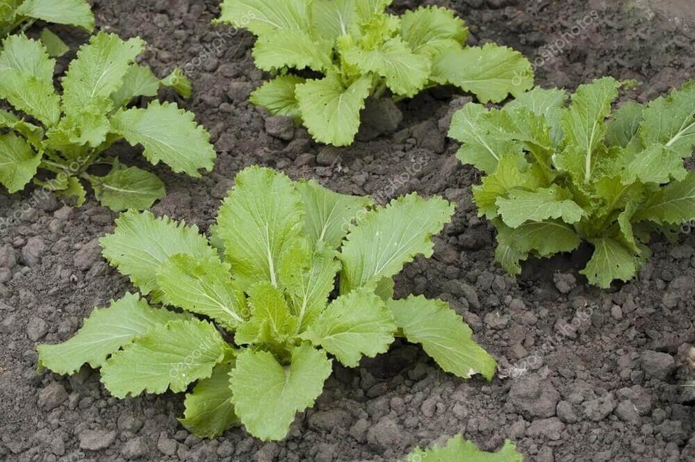 Как вырастить на огороде пекинскую капусту?