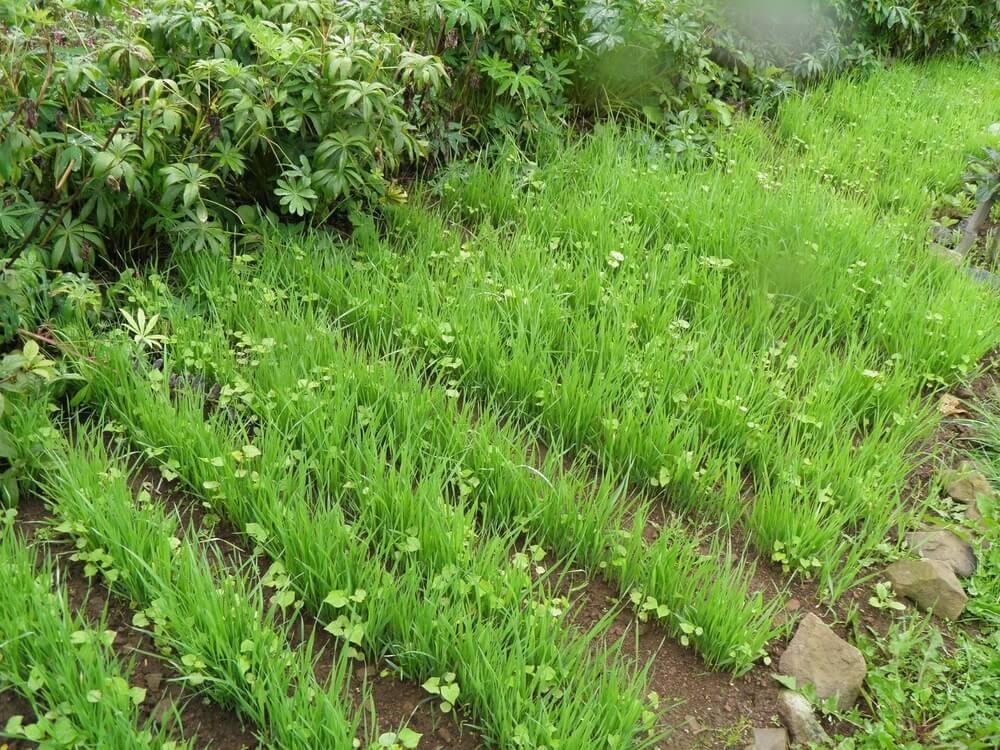 Сидераторы для огорода