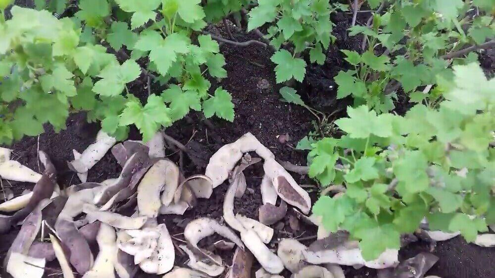 Подкормка растений картофельными очистками